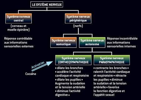 COCAINE système nerveux